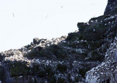 Gannets - Lyn MacDonald